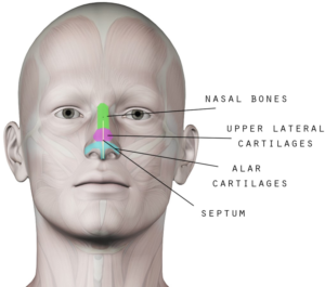 Coco Ruby Blog - Nose Anatomy Guide for Nose Aesthetics and Beauty Bone and Cartilage Nose Anatomy