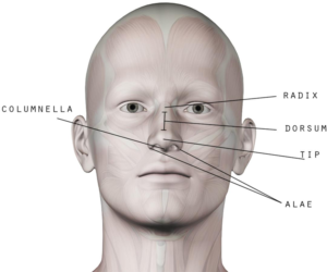 Coco Ruby Blog - Nose Anatomy Guide for Nose Aesthetics and Beauty Surface Nose Anatomy